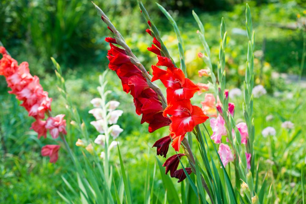 The Glorious Gladiolus