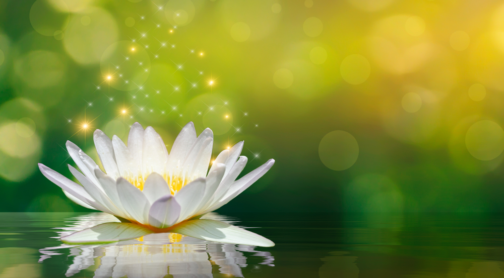 Luminous Lotus Blossoms
